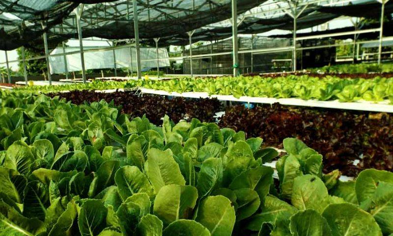 Menjaga Udara Kota dengan Urban Farming