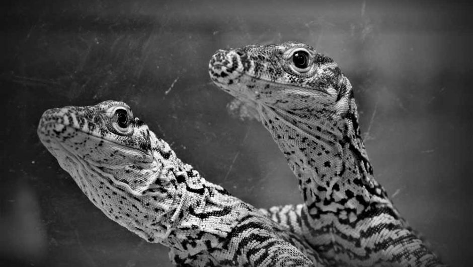 Kebun Binatang Surabaya Kembali Menetaskan Telur Komodo