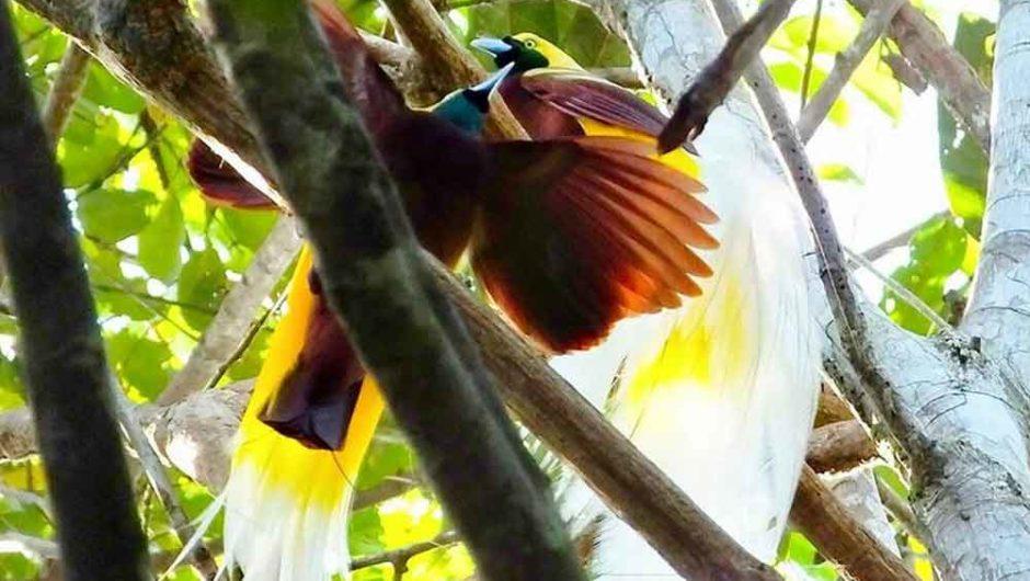 Kepak Cendrawasih di Belantara Papua Barat