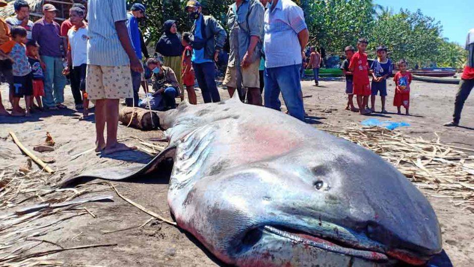 Lewat BPSPL Denpasar, KKP Tangani Hiu Mulut Besar yang Terdampar di Flores Timur
