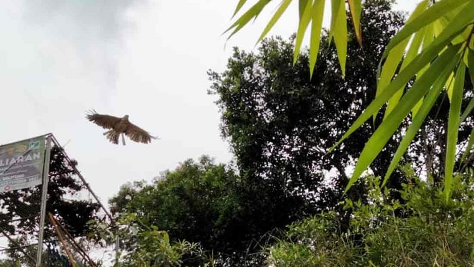 Jaga Populasi Satwa Liar, BKSDA Sumsel dan Yayasan ALOBI lepasliarkan Musang Pandan dan Elang Brontok
